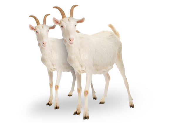 two_goats.png