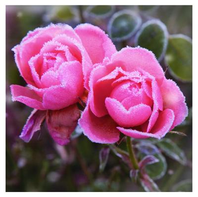 winter flora PD15414b